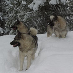3 Norwegian Elkhounds