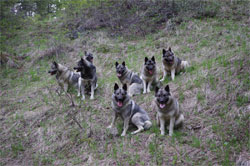 8 Elkhounds Lean and Mean Spring Hiking 2016