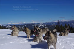 Winter Mountain Hiking With Norwegian Elkhounds