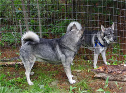 Takoda and Rico Swedish Elkhounds