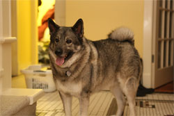 Telsa Male Elkhound Five years old