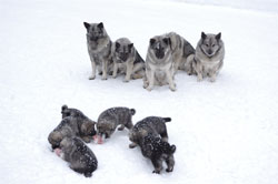 Elkhound Pack Mentality