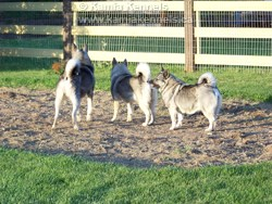 Elkhounds Gray