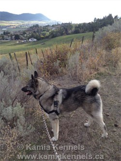 large Norwegian Elkhound Male