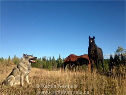 Norwegian Elkhound Male with Horses
