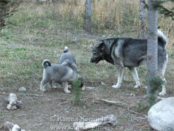 Male Elkhound Two pups