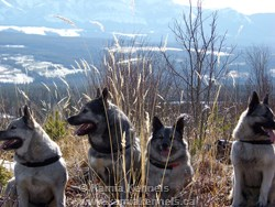 Mountain Hiking Elkhounds