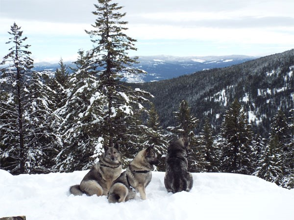 Tora Female Elkhound Mountian hiking