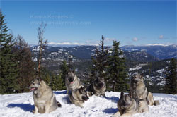 Norwegian Elkhounds Reached Plateau