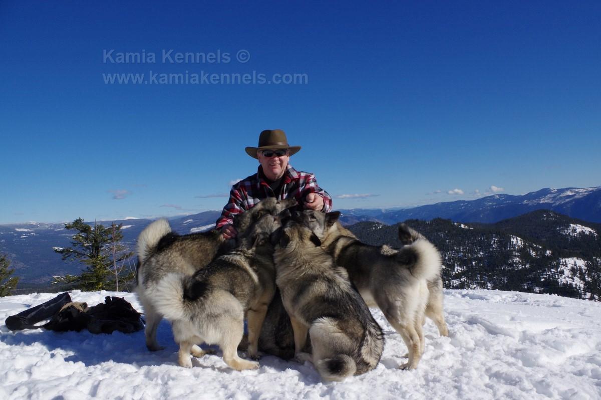 Norwegian Elkhounds Off Leash Hiking Dogs