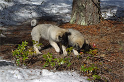 Two Elkhound Brothers Bane and Havoc