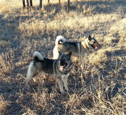 Scout and Kaia Elkhound Sisters