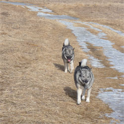 Nikeeta and Teeka Elkhound Sisters