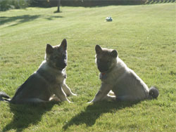Two Elkhound Brothers Kona and Bruin